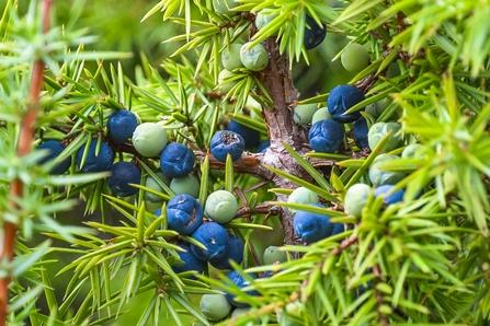 Можжевеловый куст с плодами