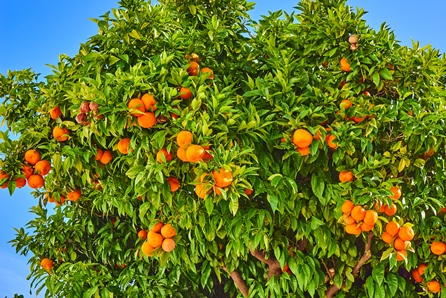 Мандариновое дерево